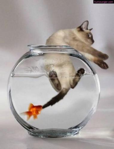 Les chats et les aquariums, toute une histoire !