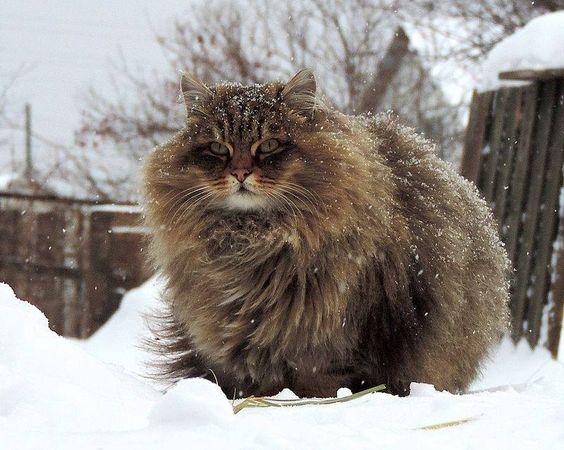 De superbes lions sous la neige