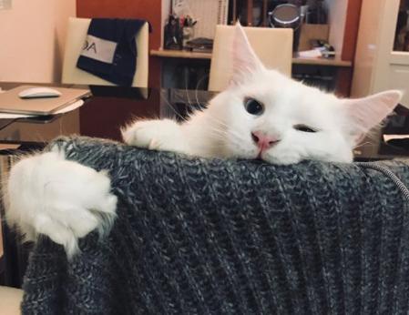 Ce chat blanc et géant est MAGNIFIQUE